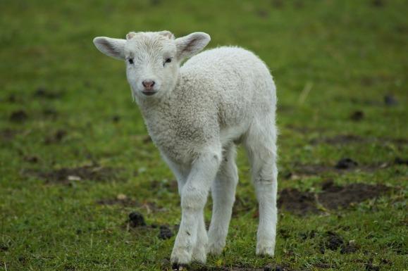 lamb-4132313_960_720
