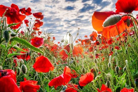 poppies-4291704_960_720